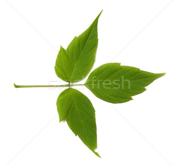 Verde acero cenere foglia isolato bianco Foto d'archivio © BSANI