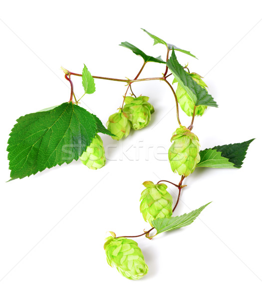 Stock photo: Blossoming hop