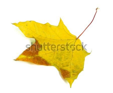 Autumn yellowed leaf Stock photo © BSANI