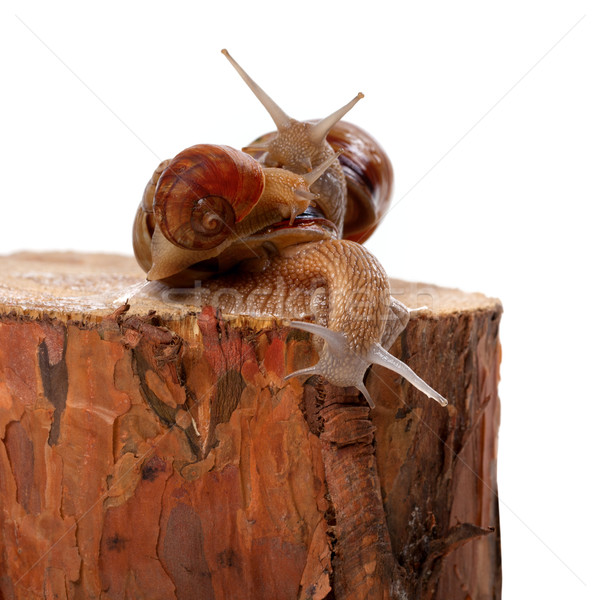 Three snails on pine tree stump Stock photo © BSANI