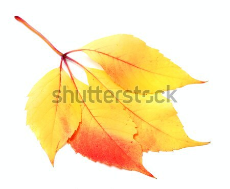 Yellow rowan leaf  Stock photo © BSANI