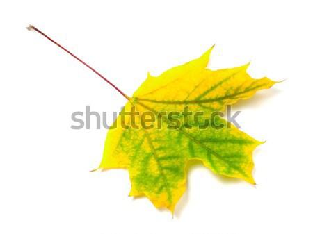осень Maple Leaf изолированный белый избирательный подход дерево Сток-фото © BSANI