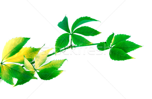 Branch of grapes leaves (Parthenocissus quinquefolia foliage) Stock photo © BSANI