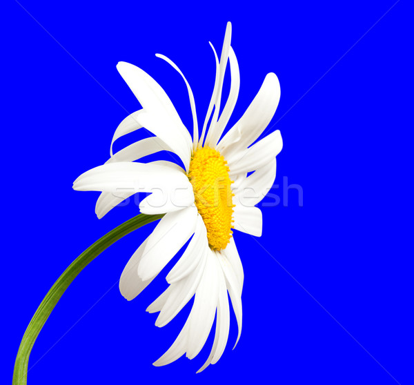 White chamomile on blue background Stock photo © BSANI