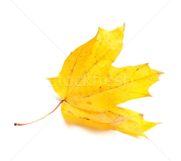 秋 黄色 カエデの葉 孤立した 白 森林 ストックフォト © BSANI