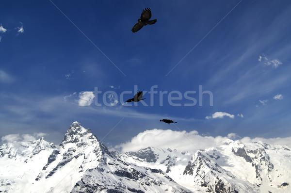 Alpine Chough (Pyrrhocorax graculus) flying in mountains Stock photo © BSANI