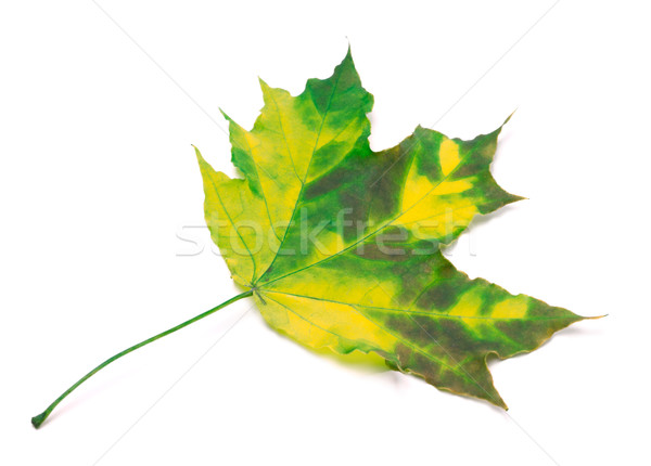 Maple Leaf изолированный белый лес природы дизайна Сток-фото © BSANI