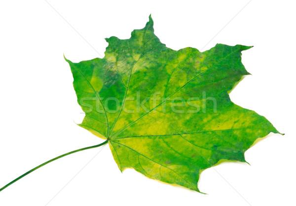 Maple Leaf избирательный подход изолированный белый весны лес Сток-фото © BSANI