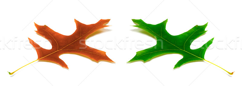 Autumn and spring leafs of oak Stock photo © BSANI
