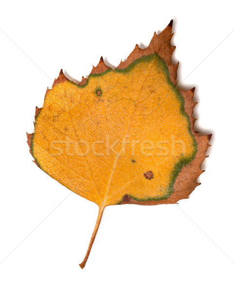 Yellowed leaf of birch on white background Stock photo © BSANI