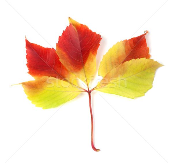 Autumnal grapes leaf on white background Stock photo © BSANI