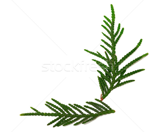 Green twigs of thuja on white background Stock photo © BSANI