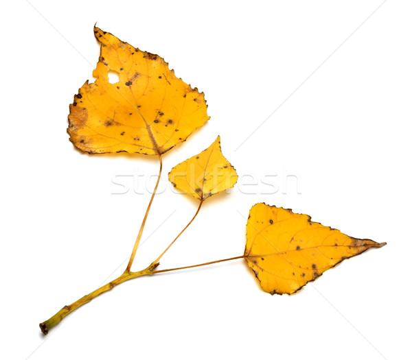 желтый тополь веточка изолированный белый Сток-фото © BSANI
