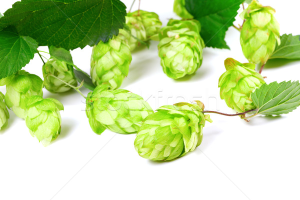 Stock photo: Blossoming hop with leaves