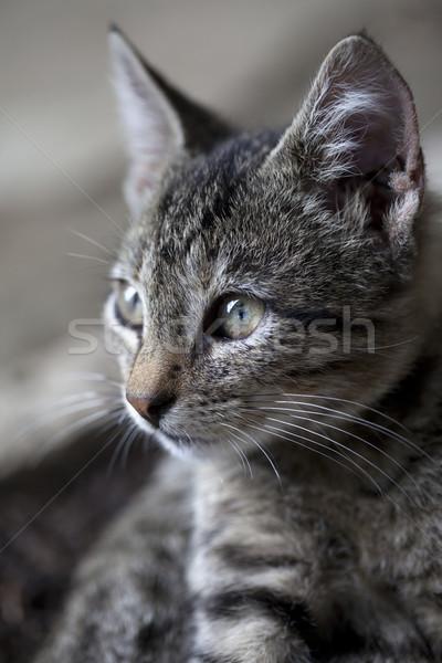 Portrait of gray kitten Stock photo © BSANI