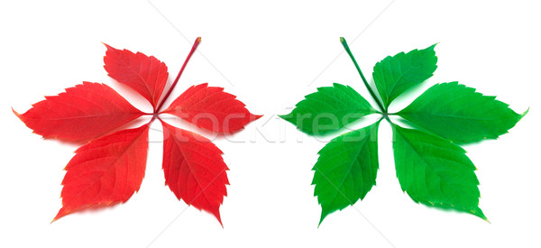 Red and green virginia creeper leaf on white background Stock photo © BSANI