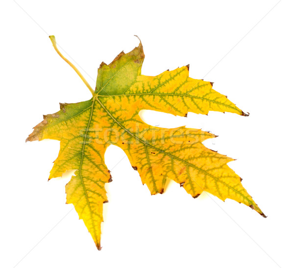 Autumn yellowed leaf on white background Stock photo © BSANI