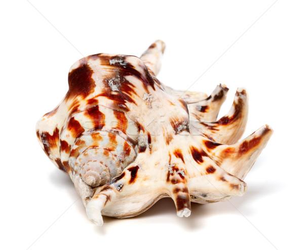 Tigris kagyló izolált fehér tengerpart állat Stock fotó © BSANI
