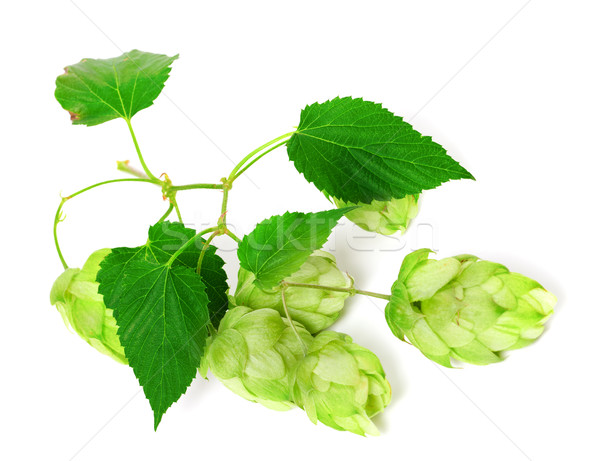 Stock photo: Branch of blossoming hop