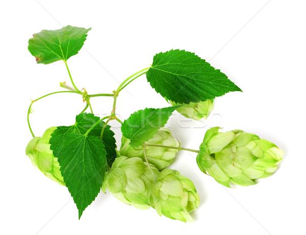 Ramo fioritura hop isolato bianco birra Foto d'archivio © BSANI