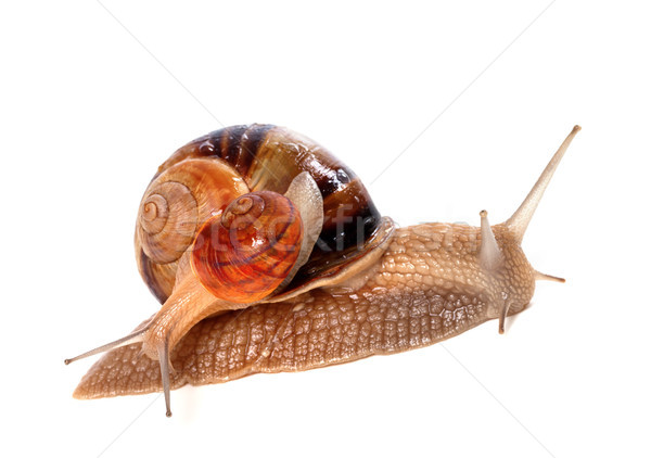Snails on top of one another Stock photo © BSANI
