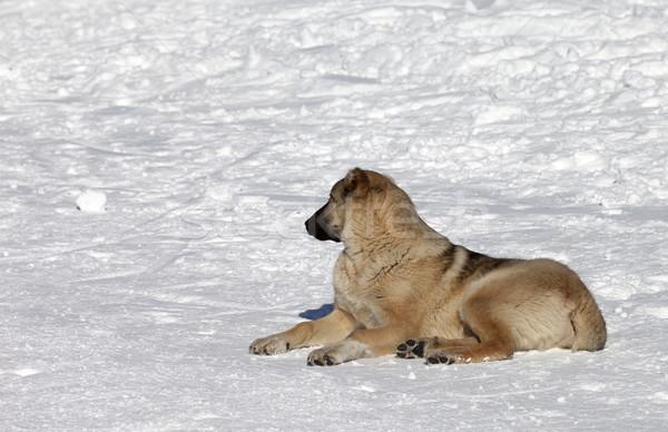 Dog resting on snowy ski slope at nice sun day Stock photo © BSANI