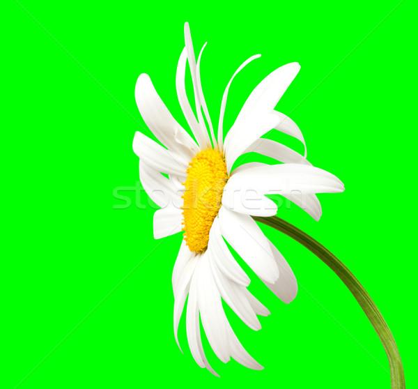 White chamomile on green background Stock photo © BSANI