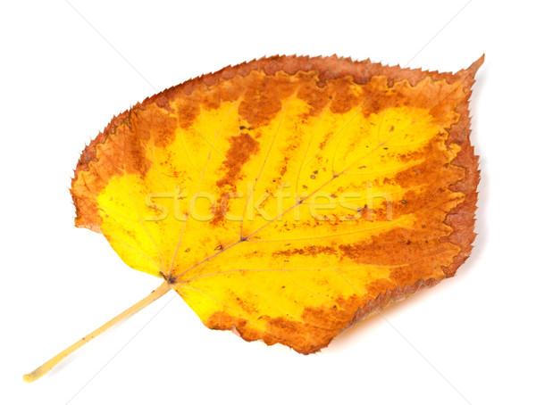 Yellowed dry autumn leaf  Stock photo © BSANI