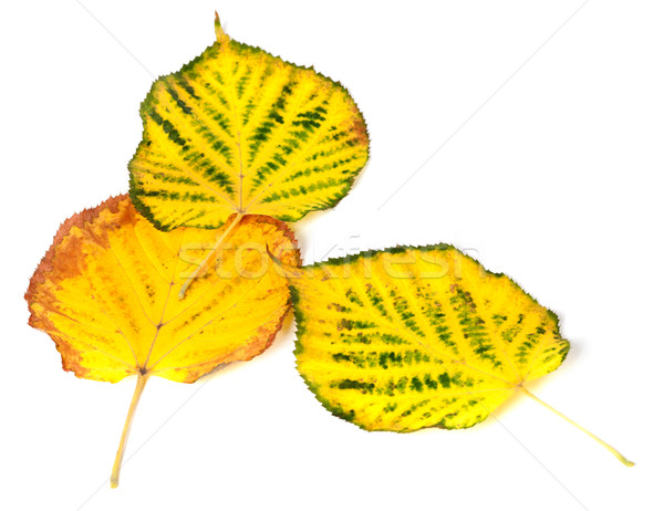 Three autumn multicolored leafs Stock photo © BSANI