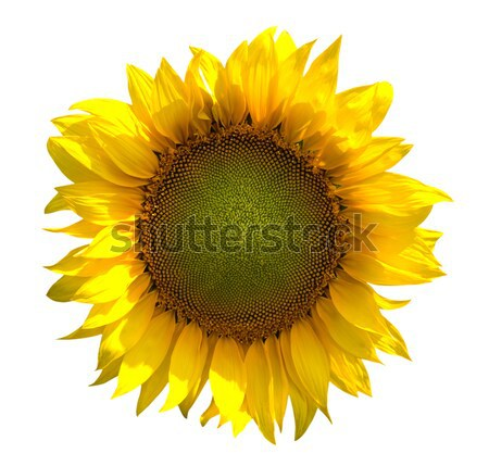 Sunflower on white background Stock photo © BSANI
