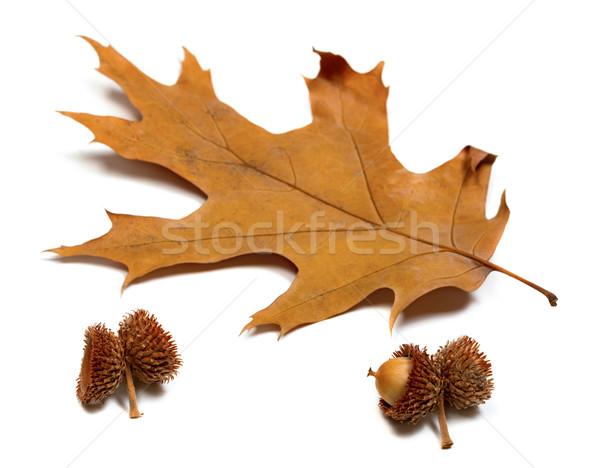 Automne séché feuille chêne isolé blanche Photo stock © BSANI