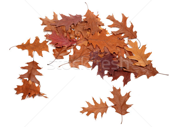 Autumn dried leafs of oak Stock photo © BSANI