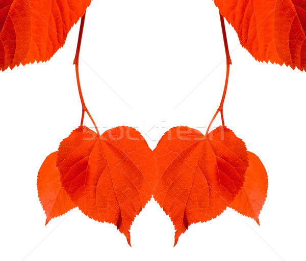 Red tilia leaves isolated on white background Stock photo © BSANI