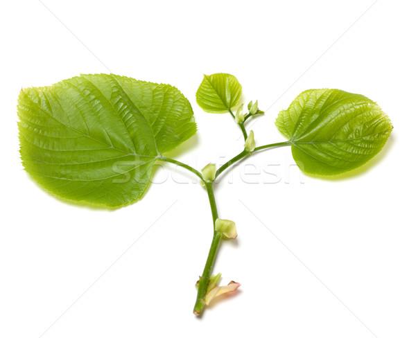 Green tilia leafs on white background. Stock photo © BSANI