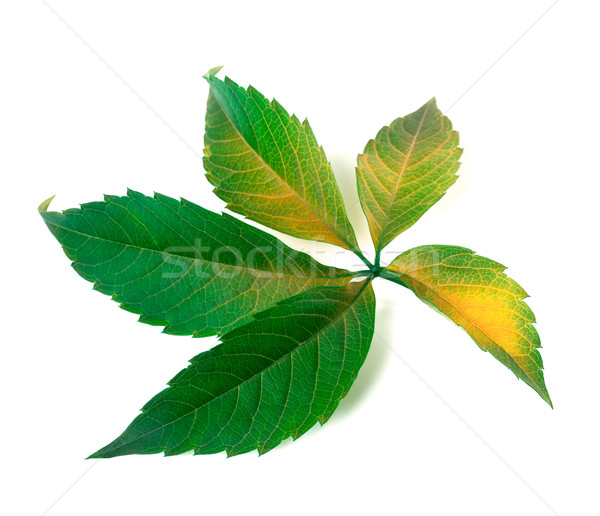 Yellowed grapes leaf (Parthenocissus quinquefolia foliage) Stock photo © BSANI