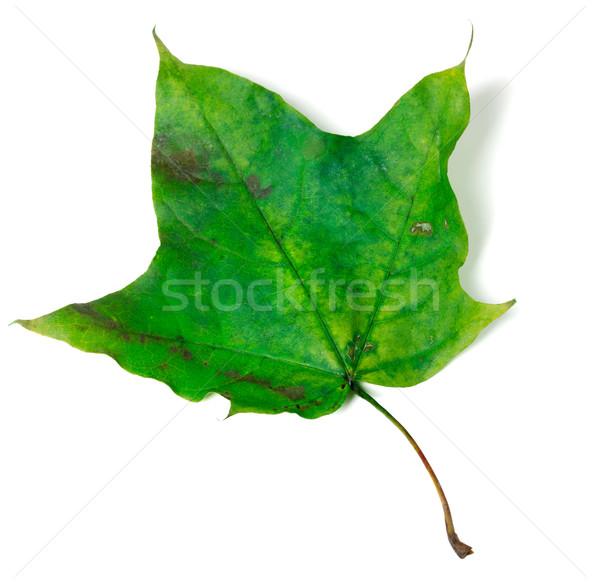 Verde foglia d'acero isolato bianco albero foresta Foto d'archivio © BSANI