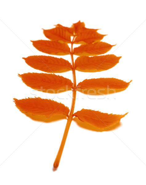 Autumn rowan leaves Stock photo © BSANI