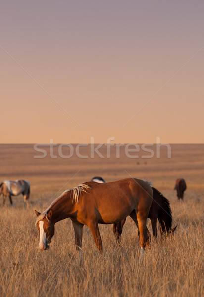 Horses grazing in evening pasture Stock photo © BSANI