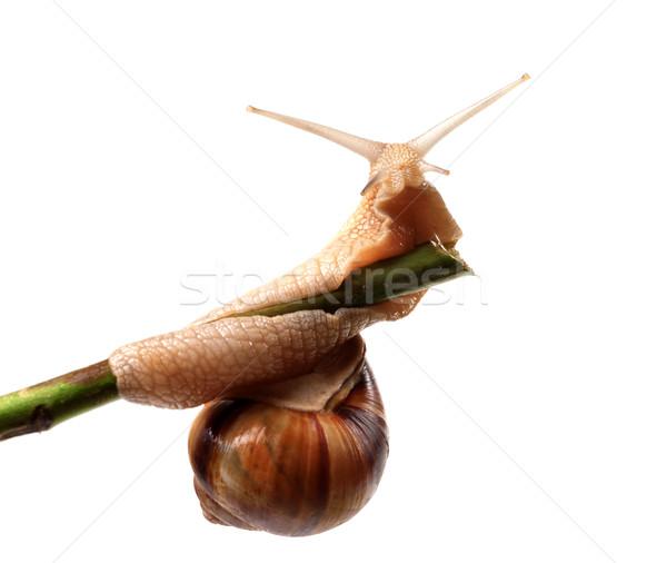 Snail crawling on the stem Stock photo © BSANI