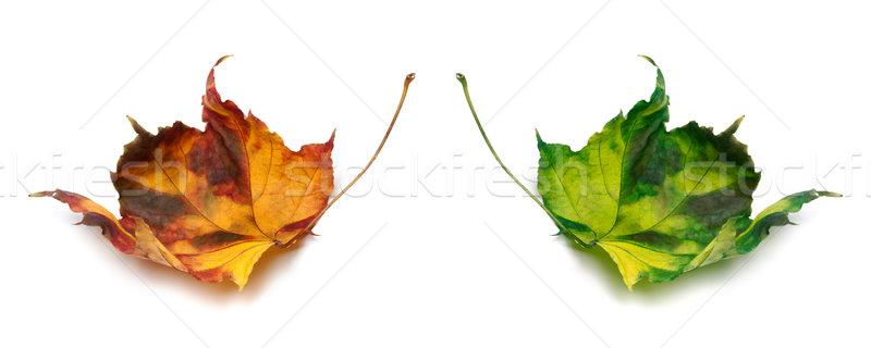 Stok fotoğraf: Turuncu · yeşil · sonbahar · yalıtılmış · beyaz · orman