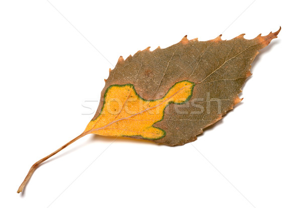 Multicolor autumn leaf of birch Stock photo © BSANI
