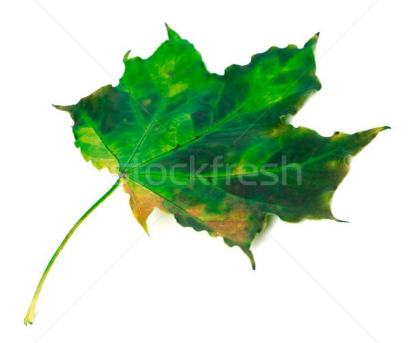 Verde autunno foglia d'acero bianco isolato natura Foto d'archivio © BSANI