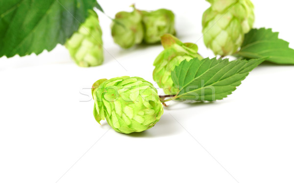 Blossoming hop on white background  Stock photo © BSANI