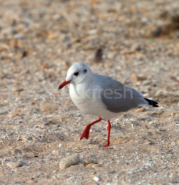 Sirály sétál homok közelkép kilátás természet Stock fotó © BSANI