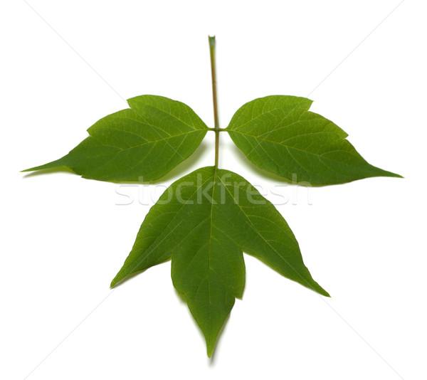 Stock photo: Spring acer negundo leaf. Isolated on white background