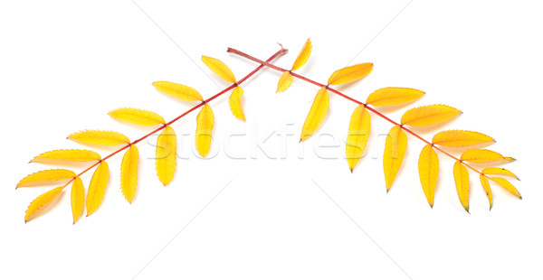 Yellowed autumn rowan leaves on white background  Stock photo © BSANI