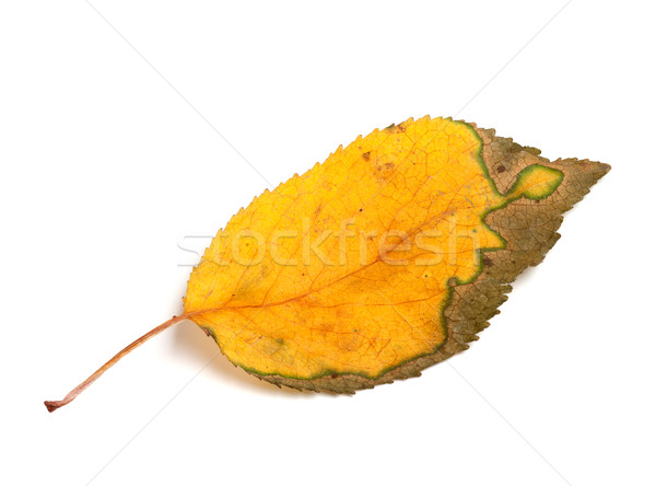 Autumn leaf on white background Stock photo © BSANI