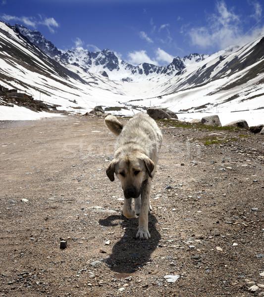 Hond onverharde weg voorjaar bergen Turkije huis Stockfoto © BSANI