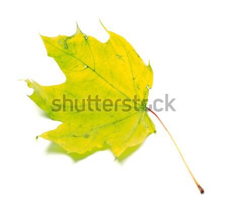 Yellowed maple leaf Stock photo © BSANI