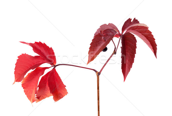 Gałązka jesienią winogron pozostawia odizolowany Zdjęcia stock © BSANI